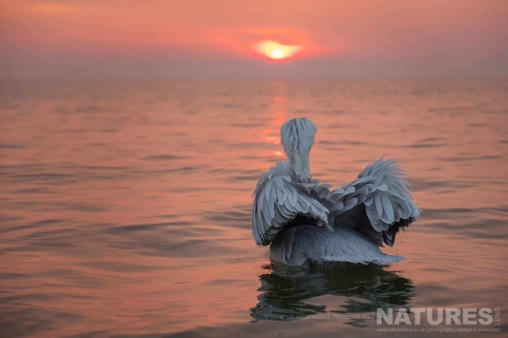 A solo Dalmatian Pelican watches as the sun breaks the horizon of Lake Kerkini image captured during a NaturesLens Dalmatian Pelican Photography Holiday