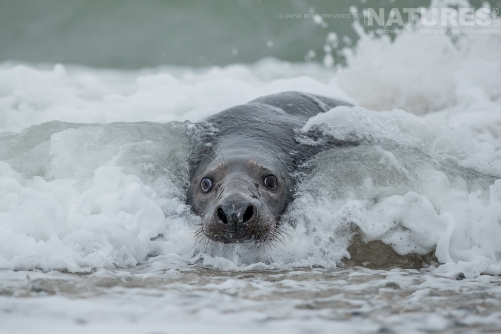 An adult seal emerges from the surf on the beaches of Dune island image captured during a NaturesLens Seals of Helgoland Photography Holiday