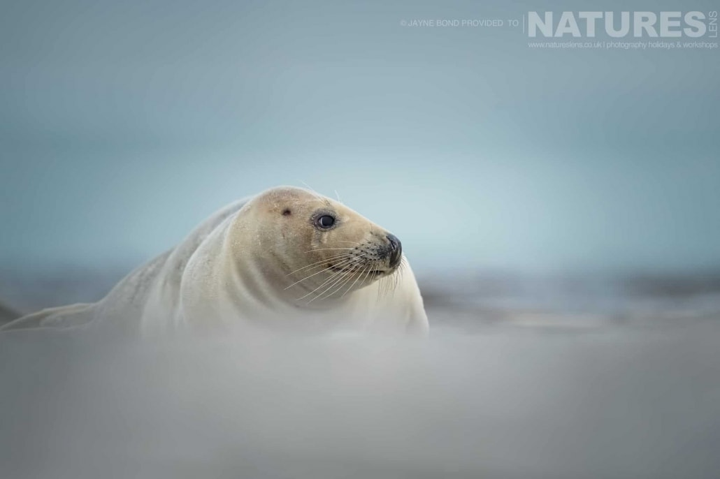 An adult seal lies in the sands of Dune island image captured during a NaturesLens Seals of Helgoland Photography Holiday