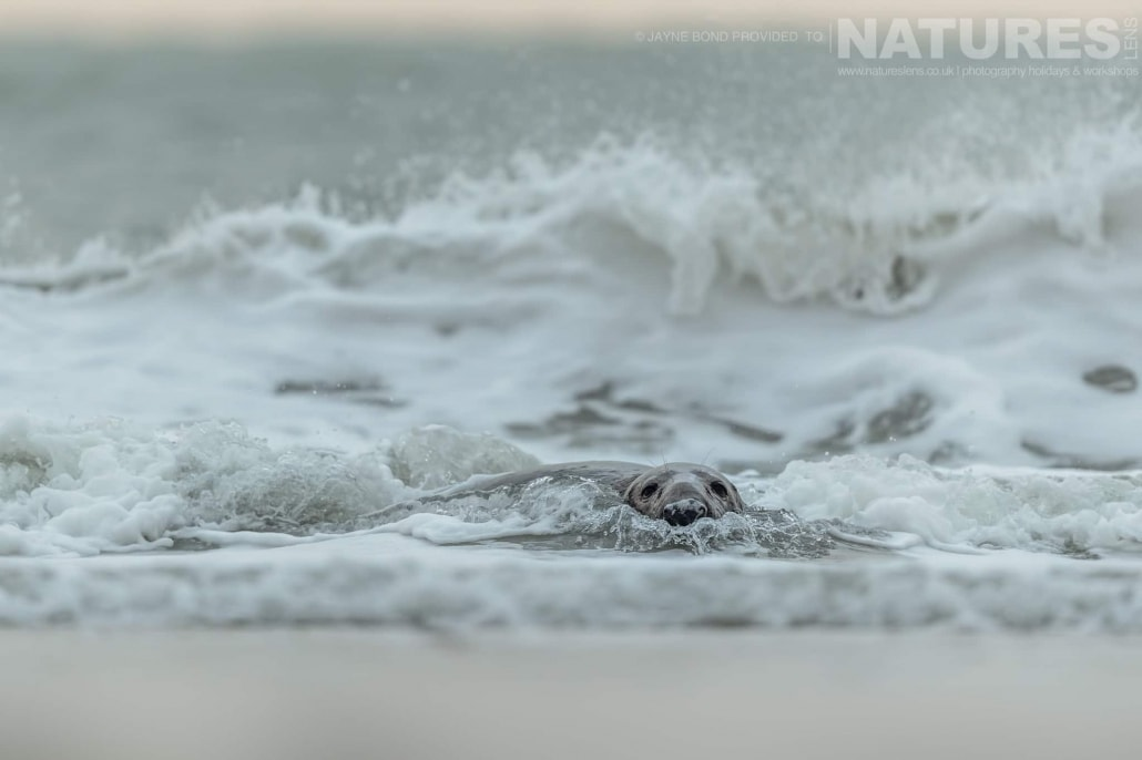 An adult seal plays in the surf of Dune island image captured during a NaturesLens Seals of Helgoland Photography Holiday