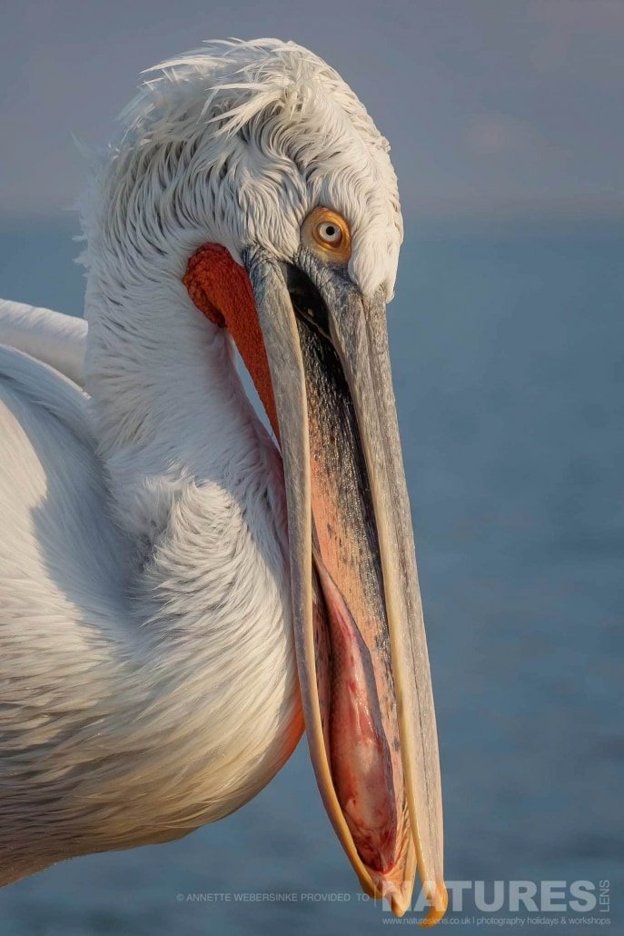 Attempting to swallow a fish, one of the pelicans at a shoreline feed image captured during a NaturesLens Dalmatian Pelican Photography Holiday