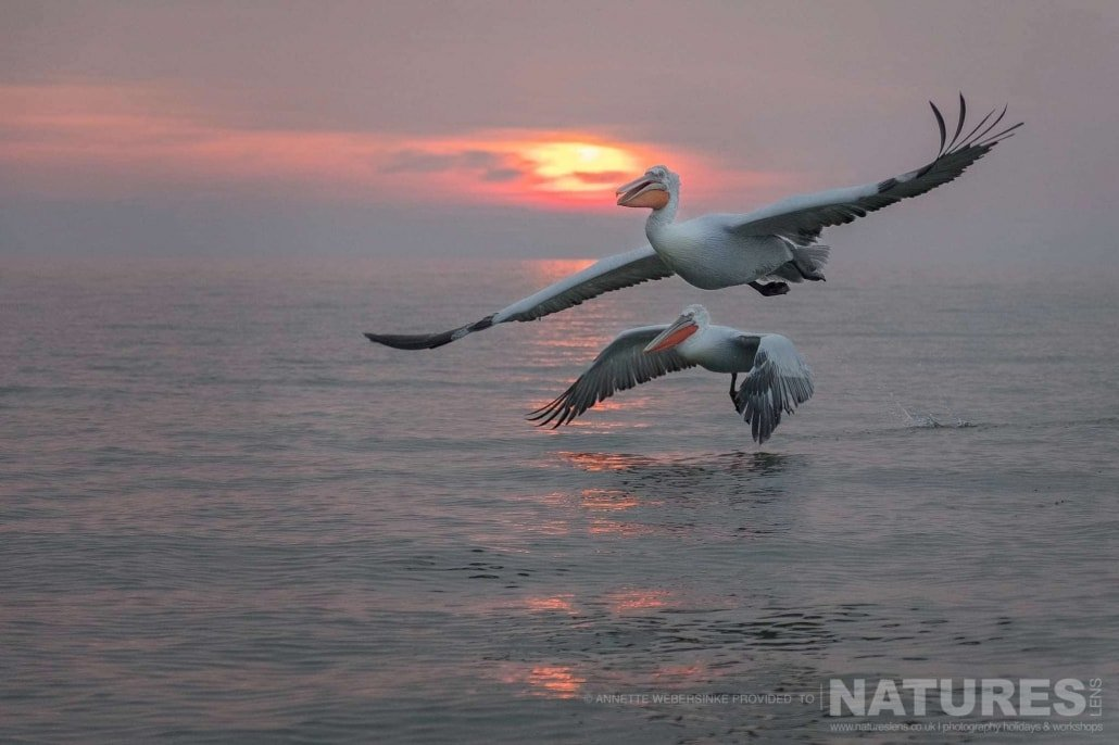 Flying in the morning light, a pair of Dalmatian Pelicans at sunrise image captured during a NaturesLens Dalmatian Pelican Photography Holiday
