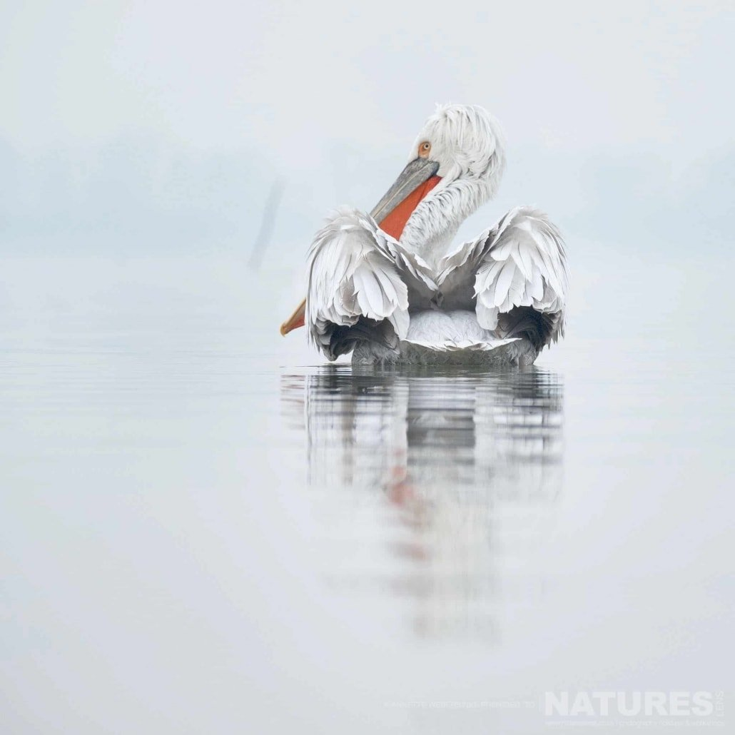 Gliding serenely on the waters, a rear view of one of Kerkini's Dalmatian Pelicans image captured during a NaturesLens Dalmatian Pelican Photography Holiday