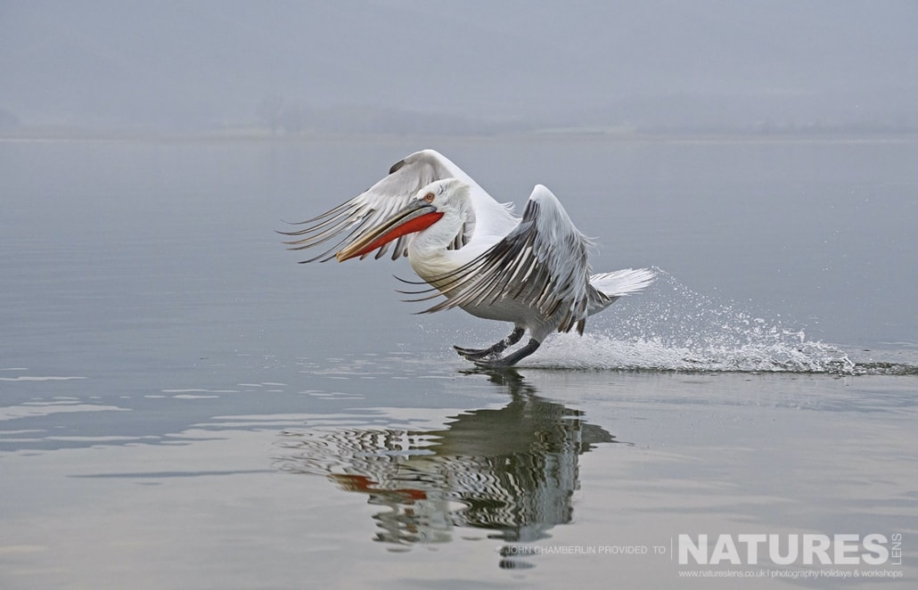 Landing gear down, one of the Dalmatian Pelicans comes in to land on Lake Kerkini photographed on a NaturesLens Dalmatian Pelican Photography Holiday