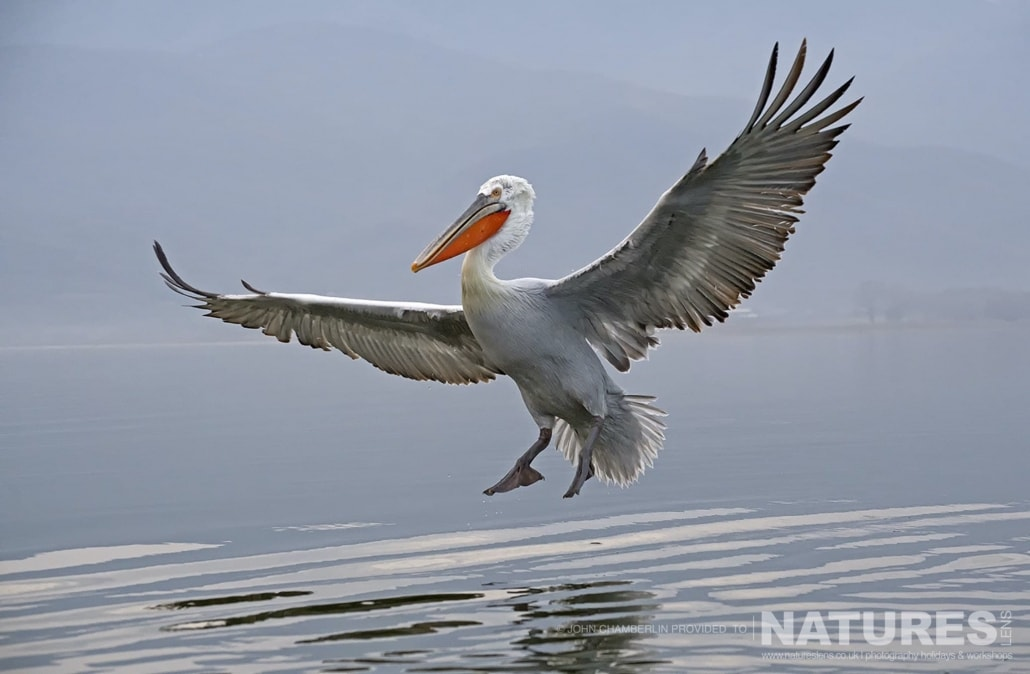 One of the Dalmatian Pelicans comes in to land on the waters of Lake Kerkini in Northern Greece photographed on a NaturesLens Dalmatian Pelican Photography Holiday