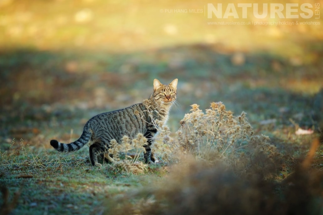 One of the European wildcats illuminated by the dawn light image captured during a NaturesLens Wildcat, Eagles & Iberian Lynx of Spain Photography Holiday