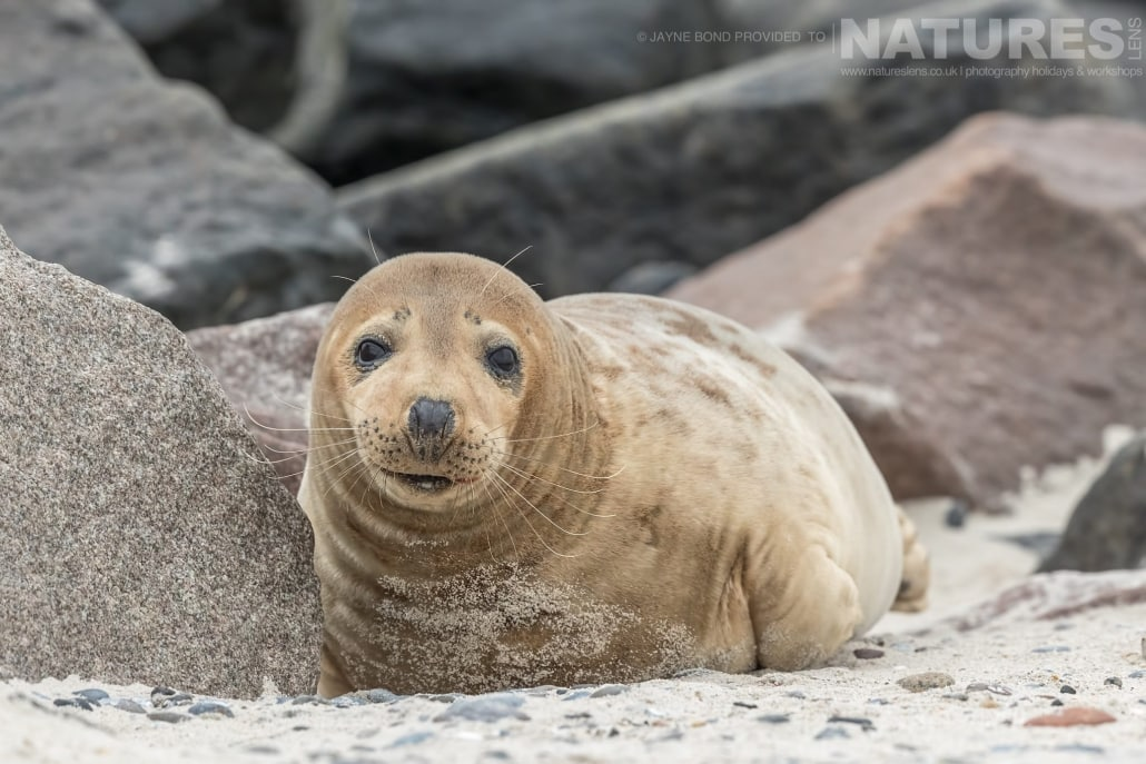 One of the female seals lies in the sands of Dune island image captured during a NaturesLens Seals of Helgoland Photography Holiday
