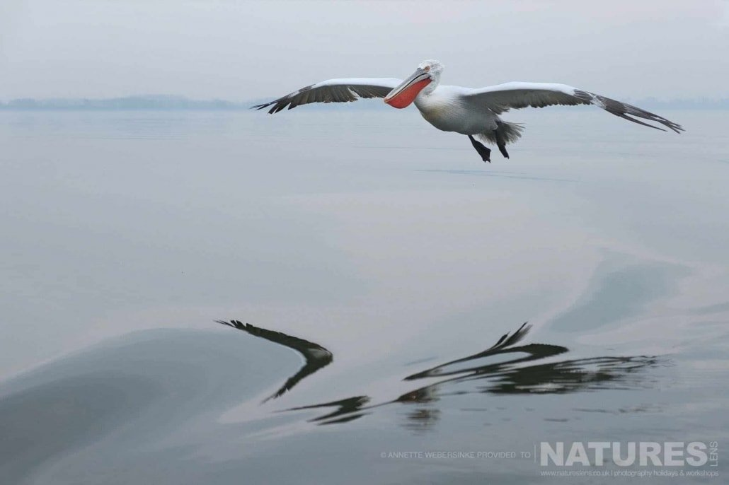 One of the pelicans glides over the still waters of Lake Kerkini image captured during a NaturesLens Dalmatian Pelican Photography Holiday