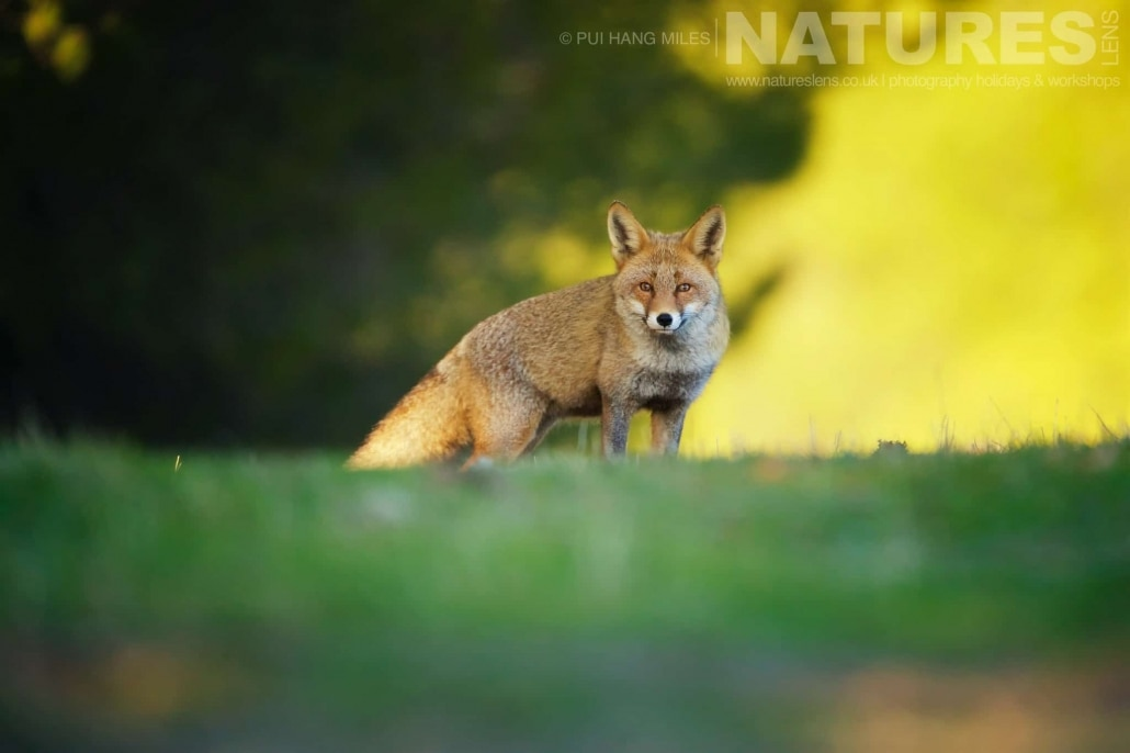 One of the red foxes makes eye contact with the photographer image captured during a NaturesLens Wildcat, Eagles & Iberian Lynx of Spain Photography Holiday
