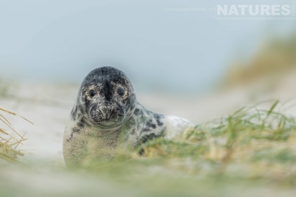 One of the seal pups lies in the sands of Dune island image captured during a NaturesLens Seals of Helgoland Photography Holiday