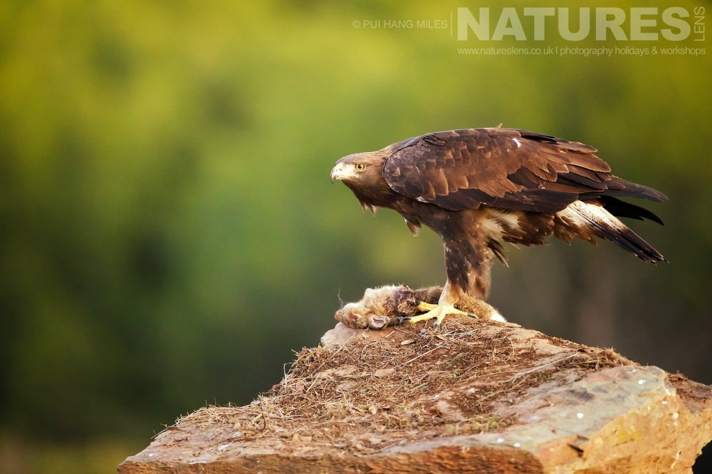 Perched on a rock, a Golden Eagle lit by the dawn light image captured during a NaturesLens Wildcat, Eagles & Iberian Lynx of Spain Photography Holiday