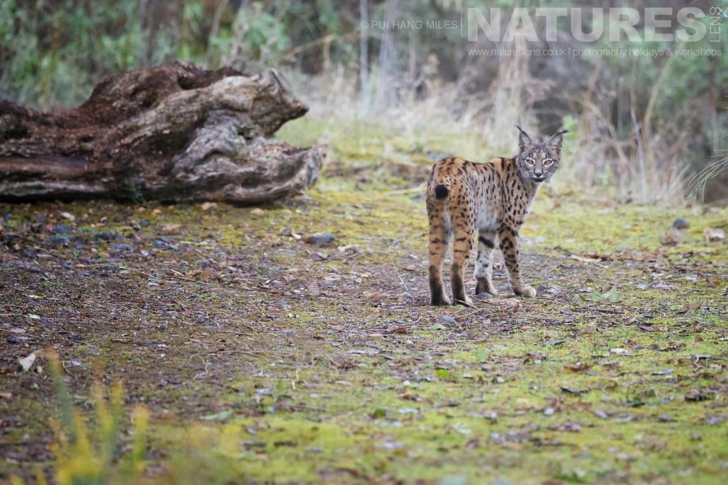 Taking a brief pause, before disappearing, the female lynx looks back at the photographer image captured during a NaturesLens Wildcat, Eagles & Iberian Lynx of Spain Photography Holiday