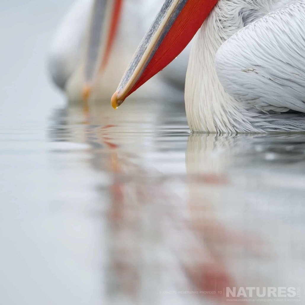 The detail of a pelican beak at one of the shoreline feeds image captured during a NaturesLens Dalmatian Pelican Photography Holiday