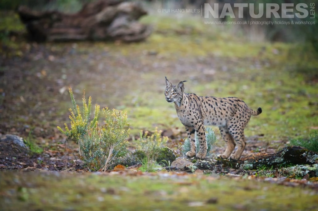 The female Iberian lynx image captured during a NaturesLens Wildcat, Eagles & Iberian Lynx of Spain Photography Holiday