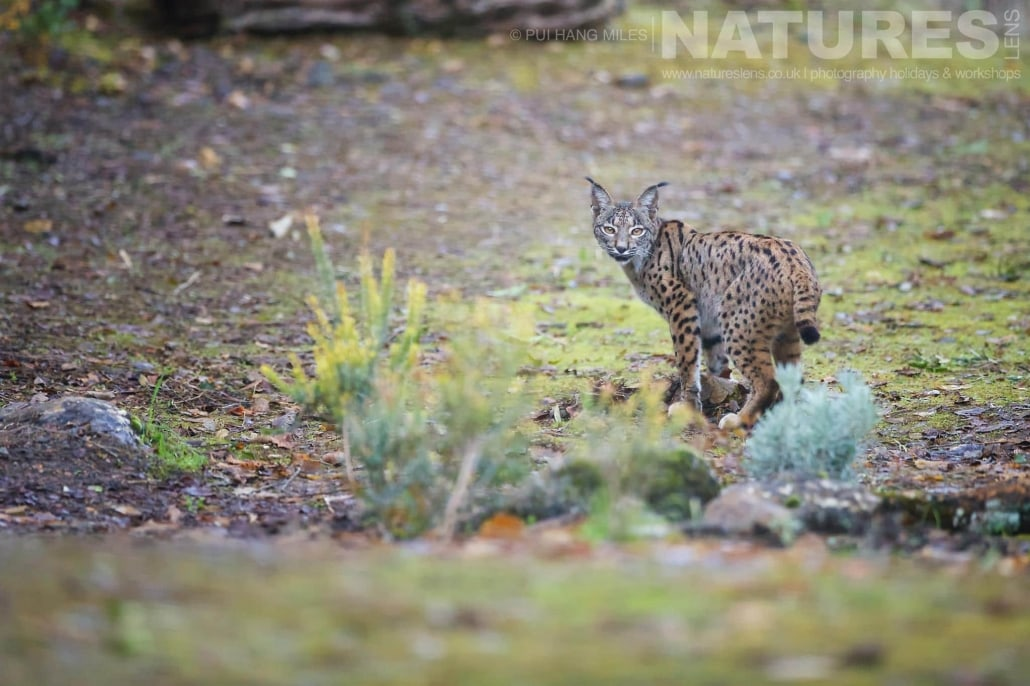 The female Lynx of the area, pauses & looks back image captured during a NaturesLens Wildcat, Eagles & Iberian Lynx of Spain Photography Holiday