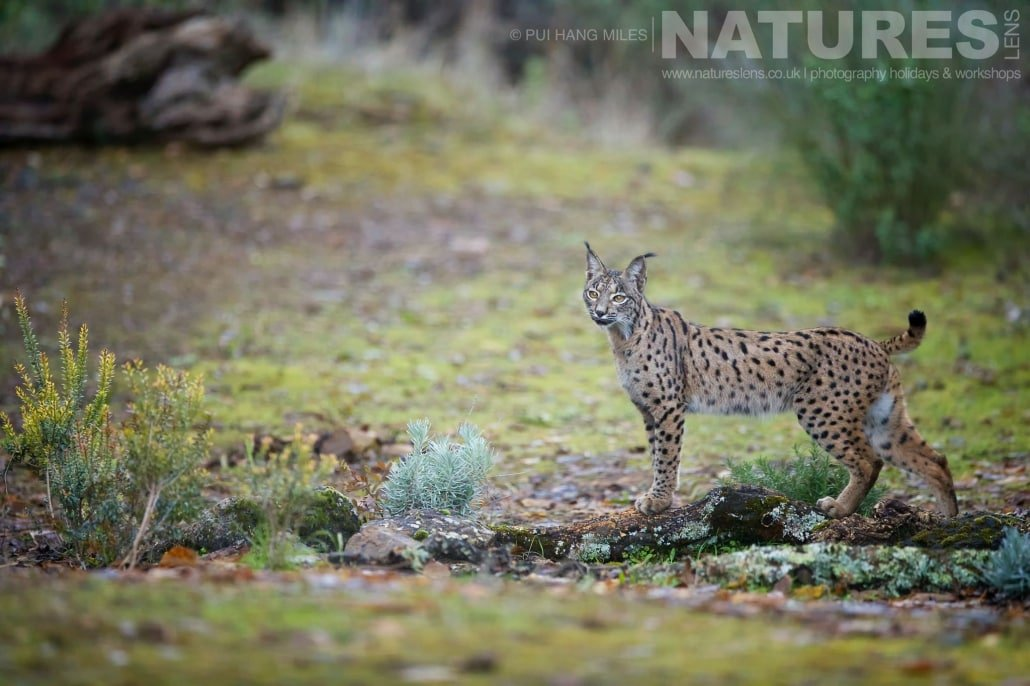 The female lynx of the area image captured during a NaturesLens Wildcat, Eagles & Iberian Lynx of Spain Photography Holiday