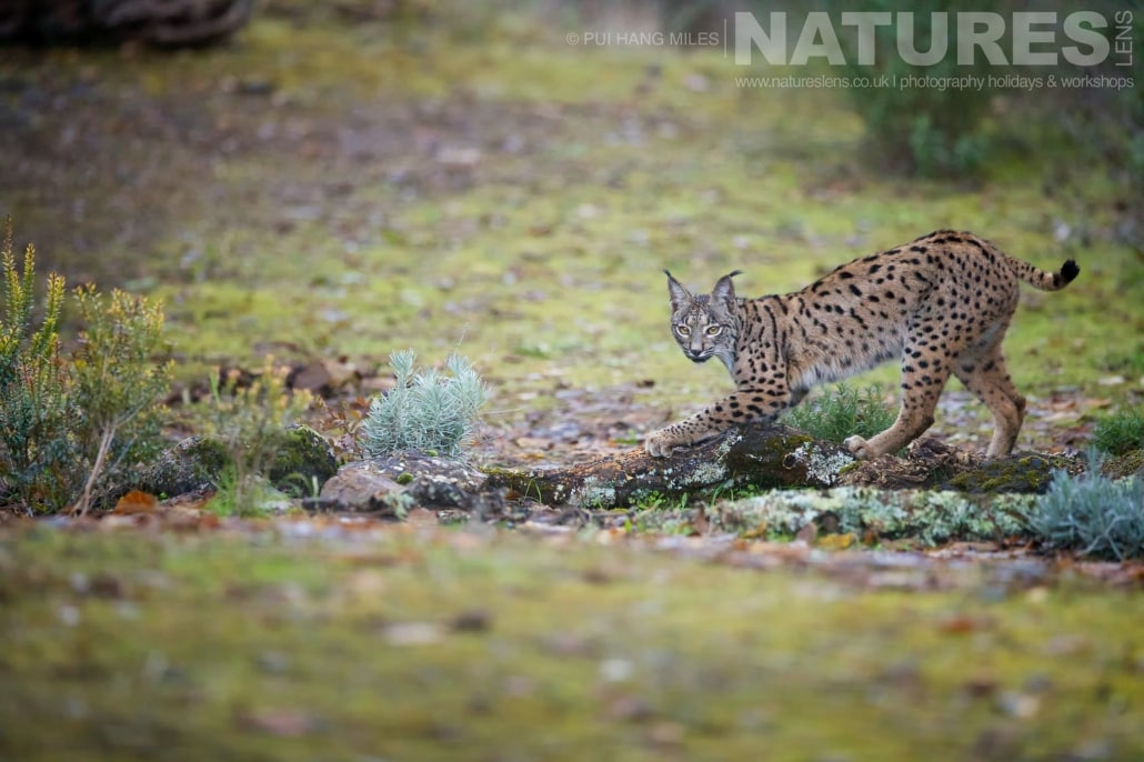 The female lynx sharpens her claws by scratching a log image captured during a NaturesLens Wildcat, Eagles & Iberian Lynx of Spain Photography Holiday