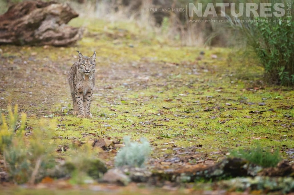 The male Iberian Lynx moves through it's territory image captured during a NaturesLens Wildcat, Eagles & Iberian Lynx of Spain Photography Holiday