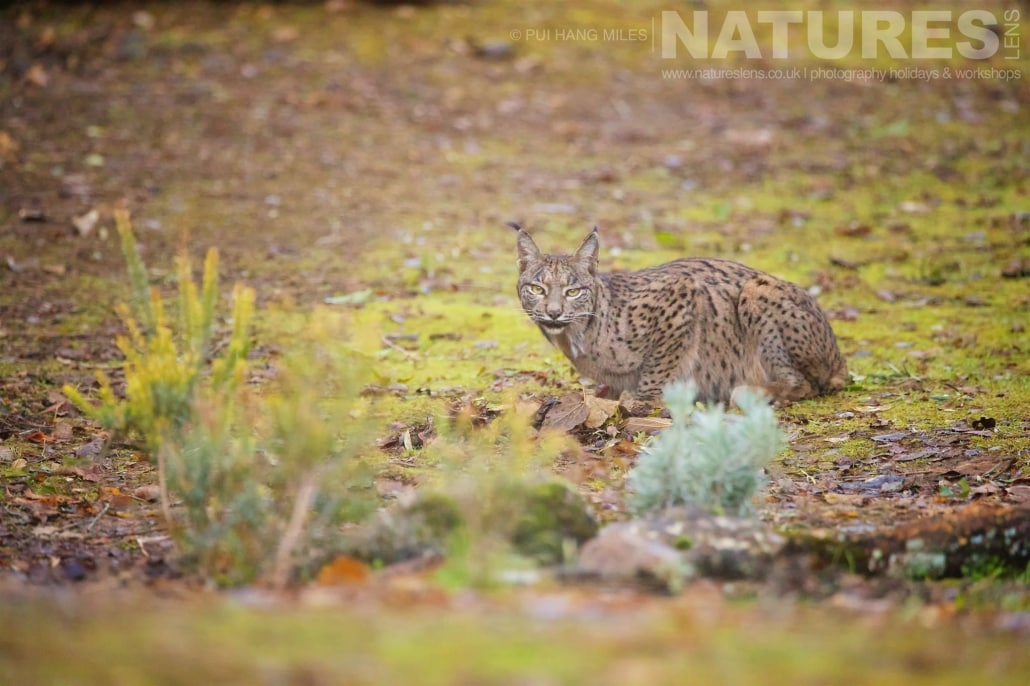 The male lynx drinkins from a small water hole image captured during a NaturesLens Wildcat, Eagles & Iberian Lynx of Spain Photography Holiday