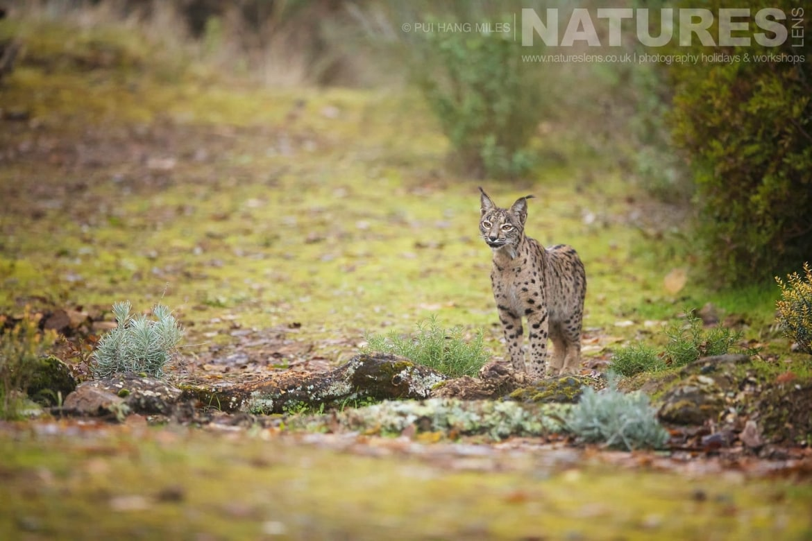 The young female Iberian lynx image captured during a NaturesLens Wildcat, Eagles & Iberian Lynx of Spain Photography Holiday
