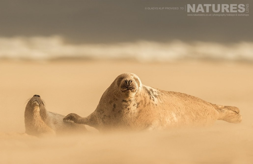 A bull and a female seal caught amongst the shifting sands whipped up in the aftermath of a storm image captured on a NaturesLens Seal Photography Workshop