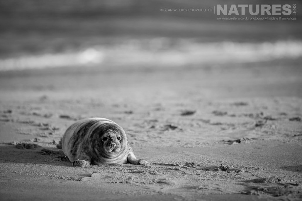 A mono image of a well fed seal pup on the sand typical of the type of image that may be captured during the NaturesLens Norfolk Seal Photography Events