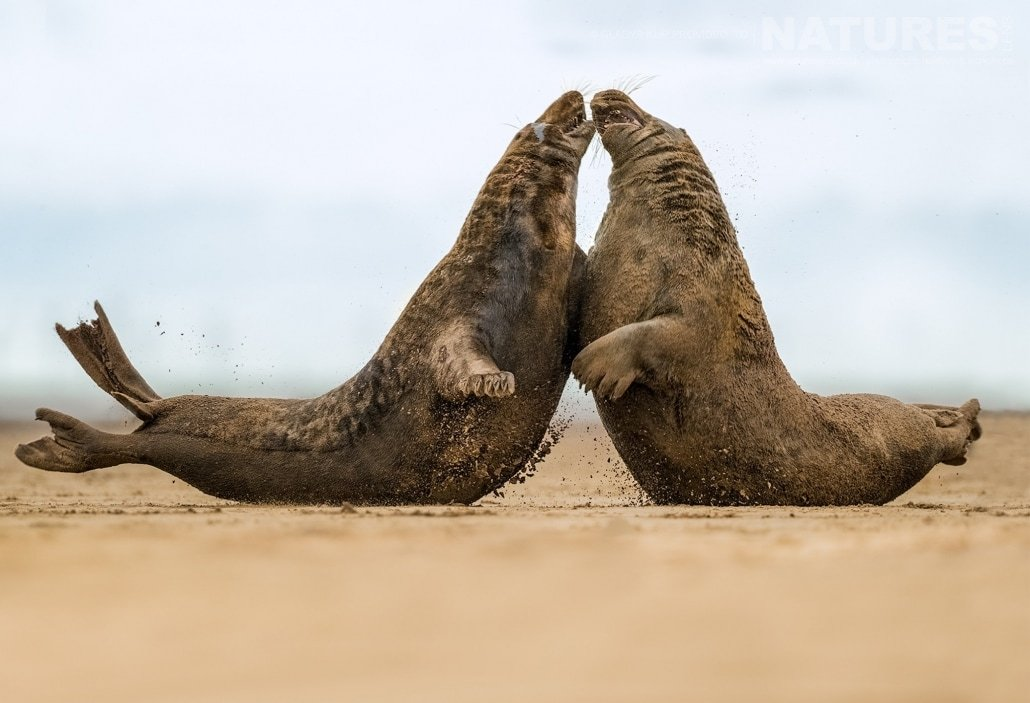 A pair of bull seals fight on the sands image captured on a NaturesLens Seal Photography Workshop