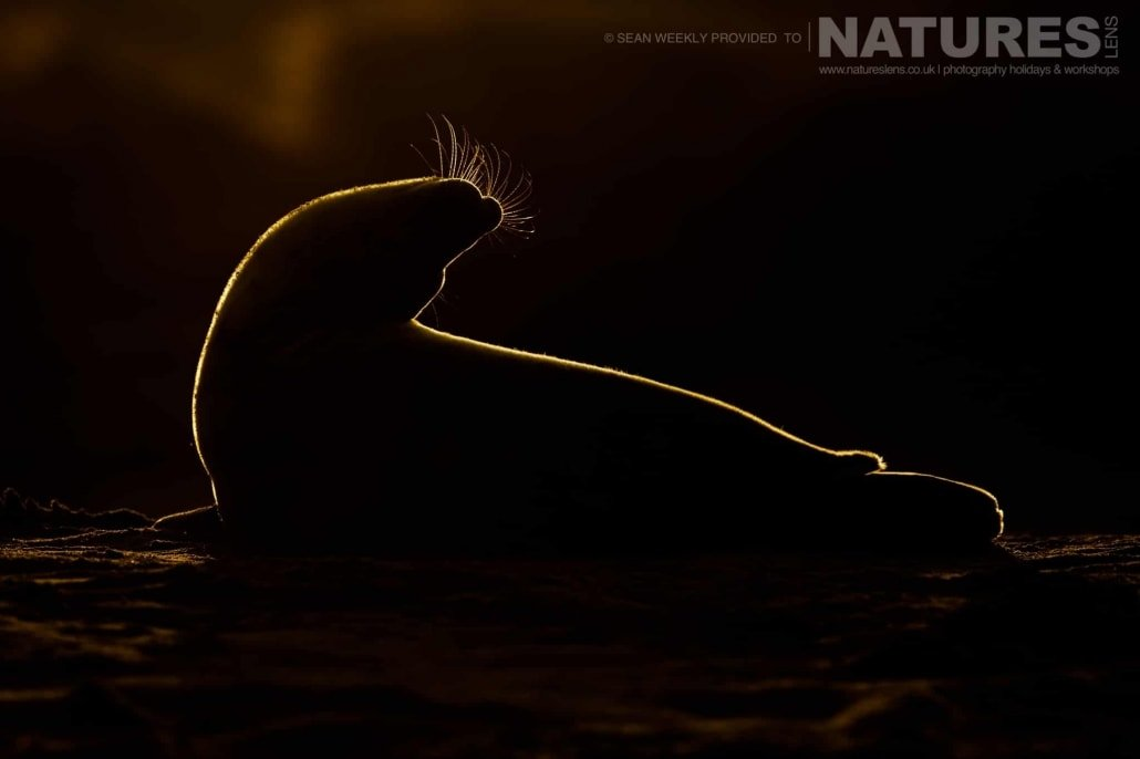 A stunning image of a seal captured silhouetted against the setting sun typical of the type of image that may be captured during the NaturesLens Norfolk Seal Photography Events