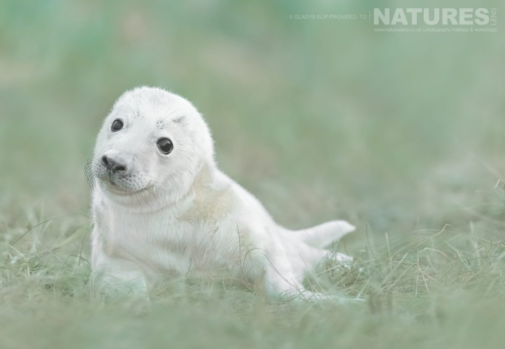 A young seal pup looks inquisitively at the photographer image captured on a NaturesLens Seal Photography Workshop