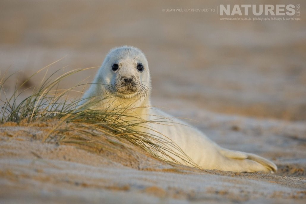 An image of one of the new-born seal-pups lyiing in the dunes adjacent to a Norfolk Beach - typical of the type of image that may be captured during the NaturesLens Grey Seals of Norfolk Photography Holiday
