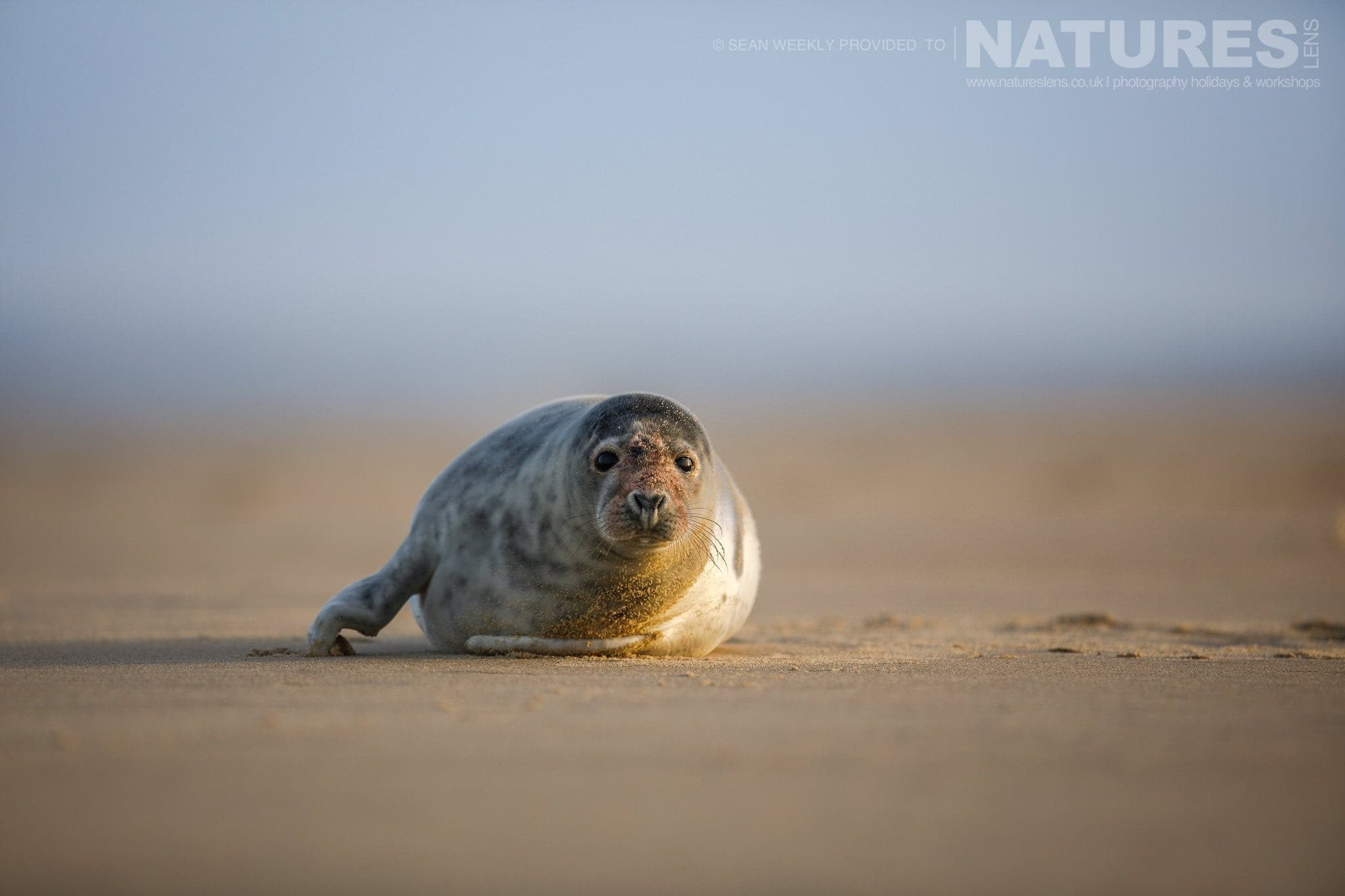 An inquisitive seal peers at the camera typical of the type of image that may be captured during the NaturesLens Grey Seals of Norfolk Photography Holiday