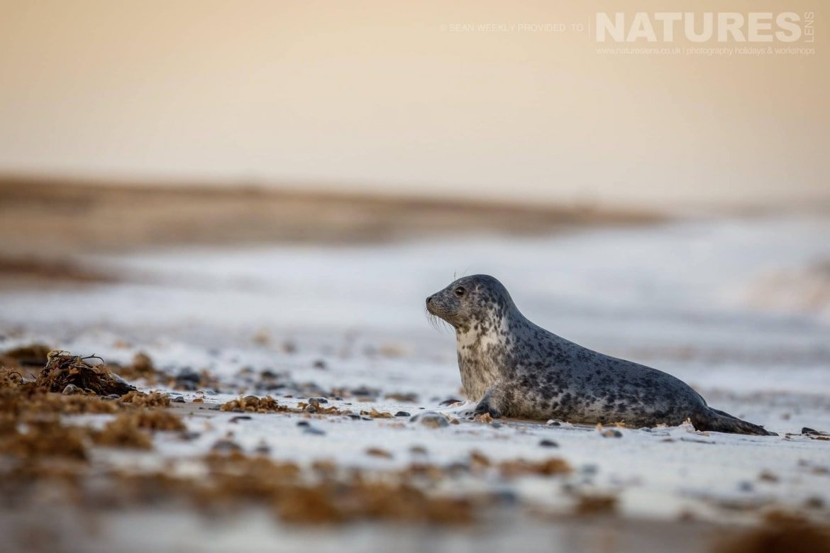 An inquisitive seal playing in the surf typical of the type of image that may be captured during the NaturesLens Grey Seals of Norfolk Photography Holiday