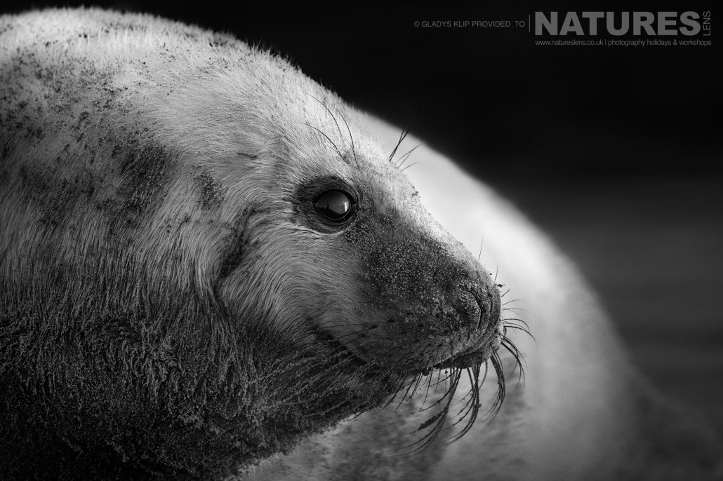 One of the seal pups exposed for mono image captured on a NaturesLens Seal Photography Workshop