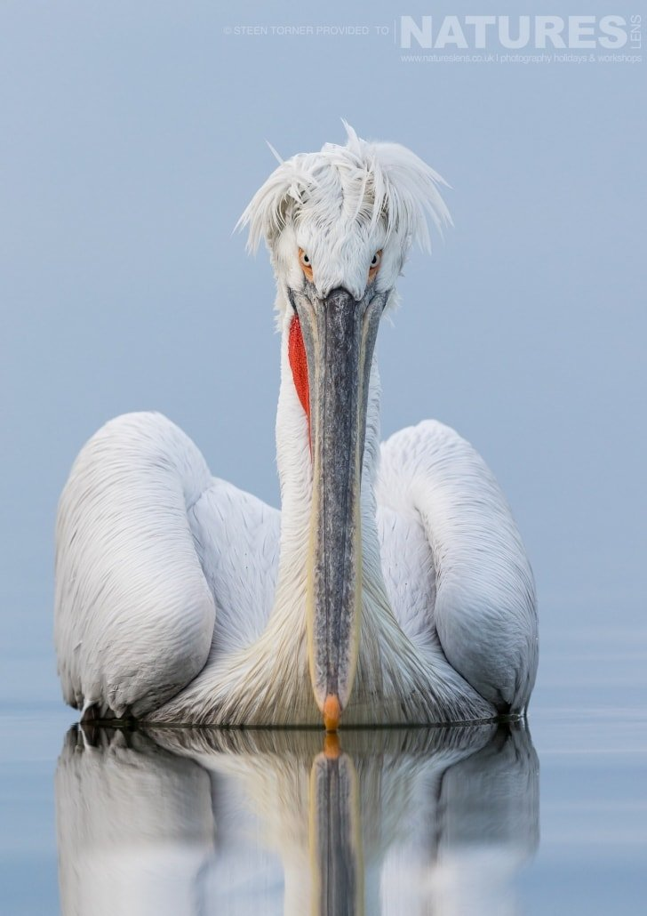 A Dalmatian Pelican drifting on the lake's still waters photographed during the NaturesLens Dalmatian Pelican Photography Holiday