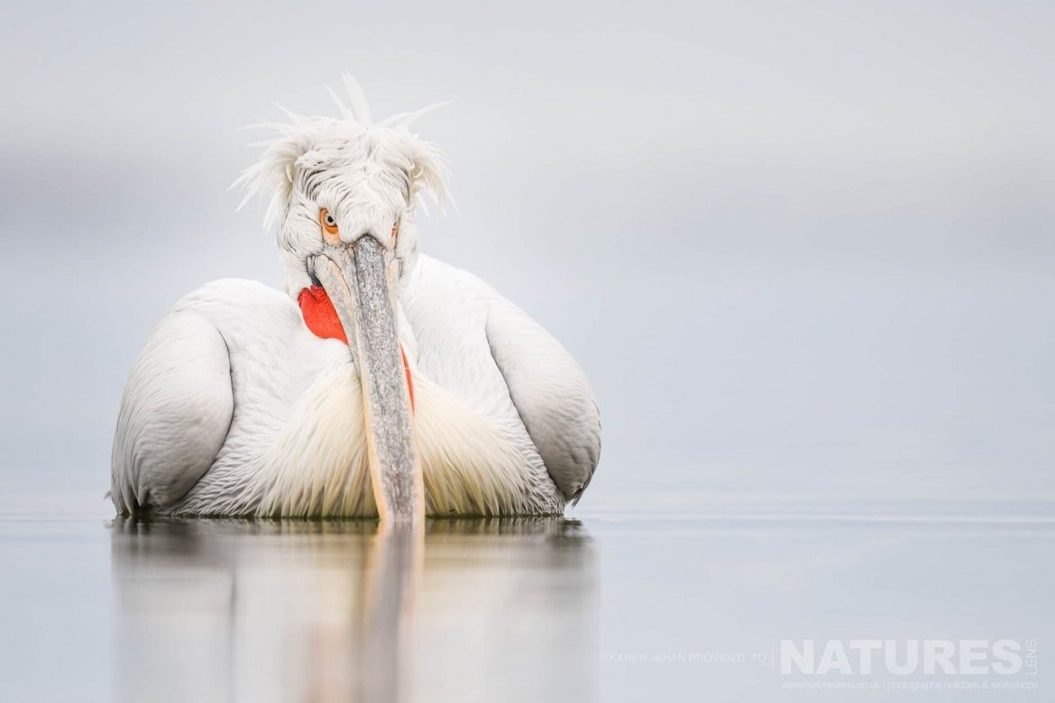 A Dalmatian Pelican drifts gently on the waters of Lake Kerkini photographed during a NaturesLens Dalmatian Pelican Photography Holiday