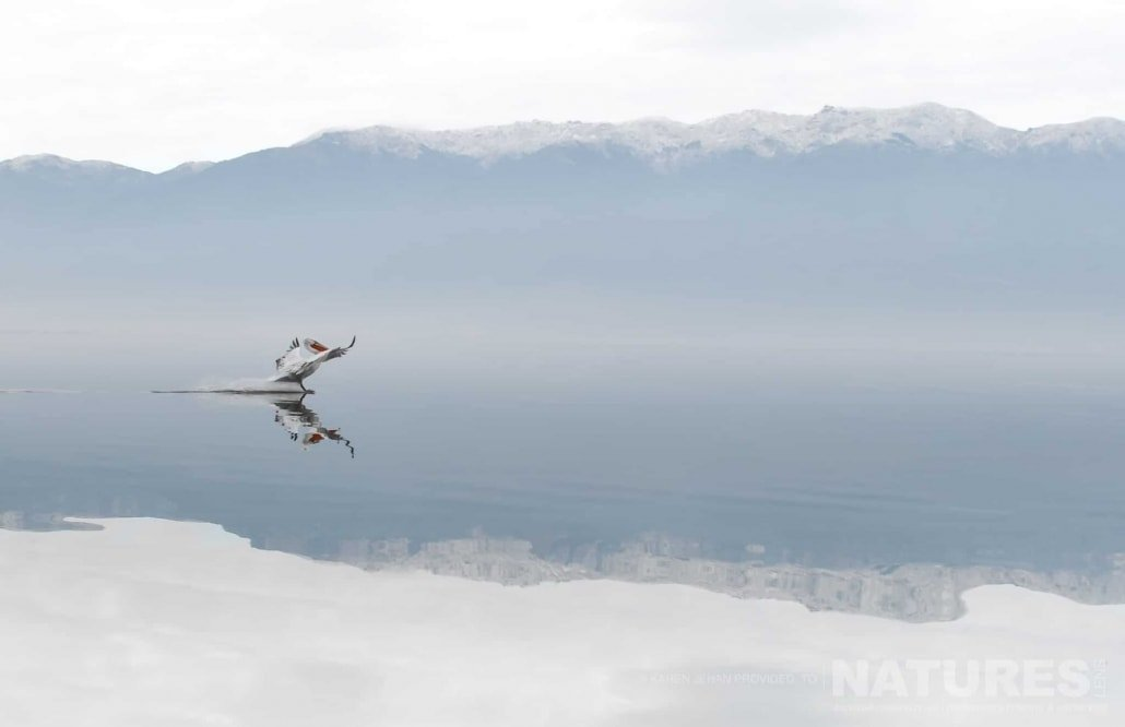 A Dalmatian Pelican lands on the glass like waters of Lake Kerkini photographed during one of the NaturesLens Photography Holidays for photography of the Pelicans of Lake Kerkini