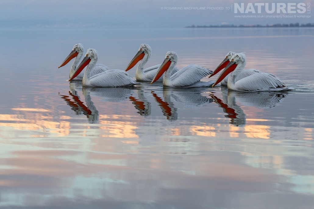 A Dalmatian Pelican line up at dawnThe close up stare of a Dalmatian Pelican photographed during one of the NaturesLens Photography Holidays for photography of Lake Kerkini's Pelicans