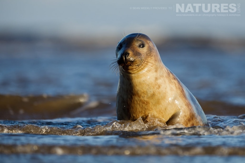 A Lincolnshire seal peeks at the photographer from the safety of the surf of a beach photographed on the NaturesLens Seals of Lincolnshire Photography Holiday