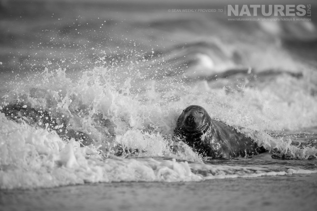 A Lincolnshire seal plays in the surf of the beach photographed on the Seals of Lincolnshire Photography Holiday run by NaturesLens