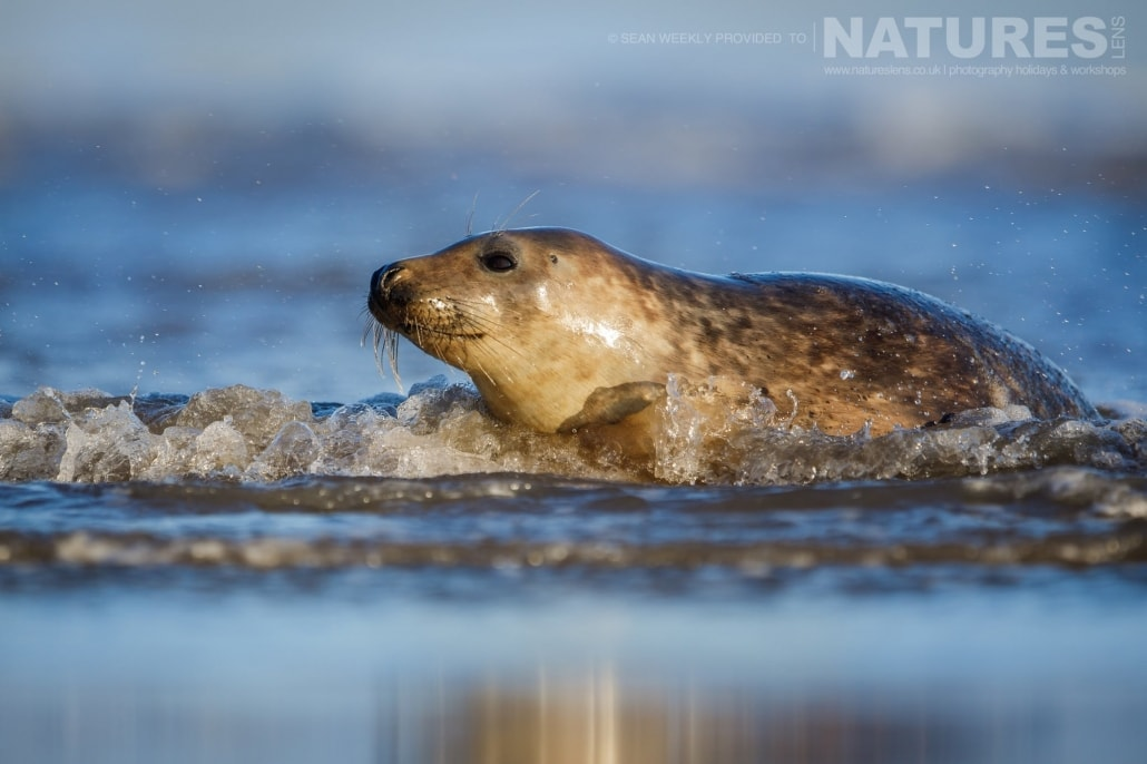 A Lincolnshire seal plays within the surf photographed on the NaturesLens Seals of Lincolnshire Photography Holiday