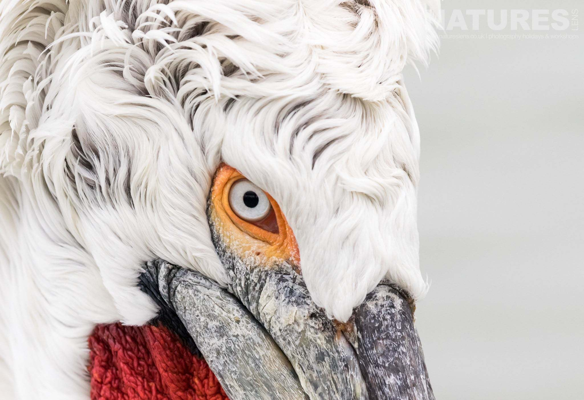 A close up of the head of one of the Dalmatian Pelicans of Lake Kerkini photographed during the NaturesLens Dalmatian Pelican Photography Holiday