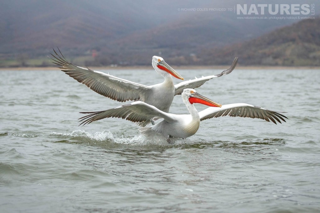 A duo of in flight Dalmatian Pelicans coming in to land on Lake Kerkini photographed during one of the NaturesLens Photography Holidays for photography of the Pelicans of Lake Kerkini
