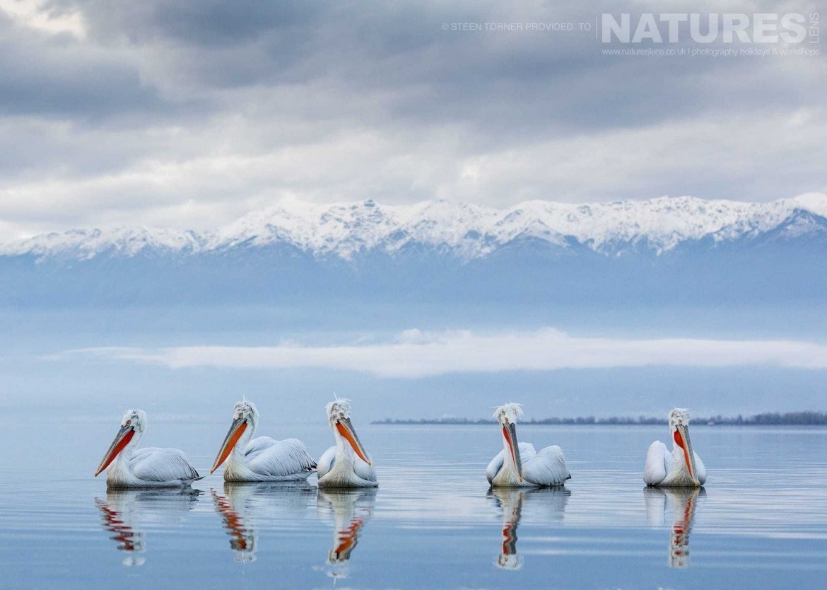 A group of Dalmatian Pelicans drifting on the lake with the beautiful mountain range behind photographed during the NaturesLens Dalmatian Pelican Photography Holiday
