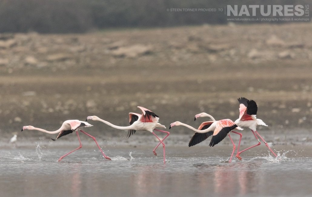 A group of flamingos taking off from the waters of Lake Kerkini photographed during the NaturesLens Dalmatian Pelican Photography Holiday