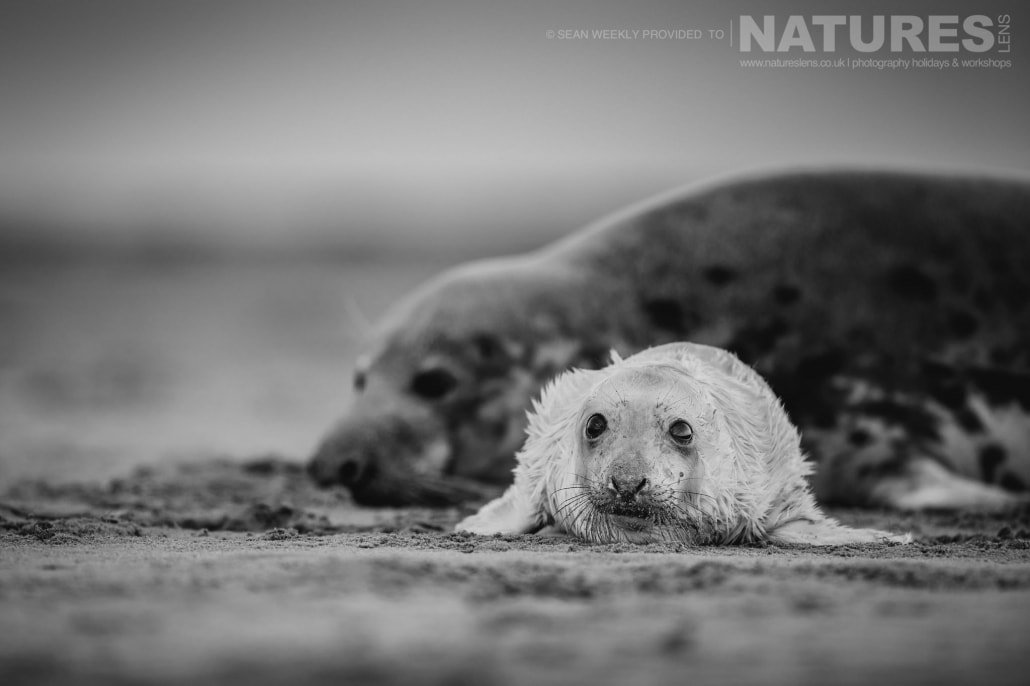 A mother and her new born seal pup on the beaches of Lincolnshire photographed on the Seals of Lincolnshire Photography Holiday run by NaturesLens
