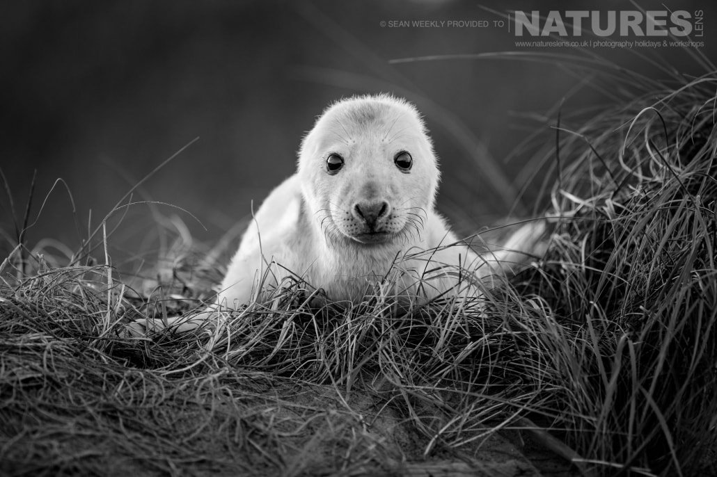 A new born seal pup spends the first hours of his life amongst the dunes of the beaches of Lincolnshire photographed on the Seals of Lincolnshire Photography Holiday run by NaturesLens