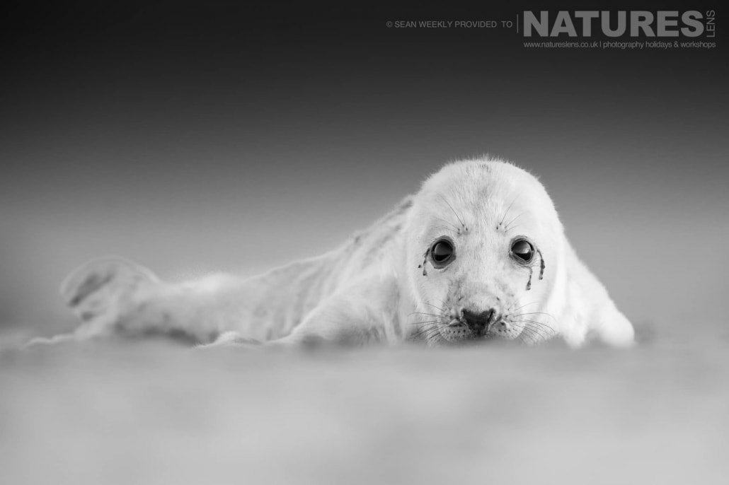 A new born seal pup spends the first hours of his life on the beaches of Lincolnshire photographed on the Seals of Lincolnshire Photography Holiday run by NaturesLens