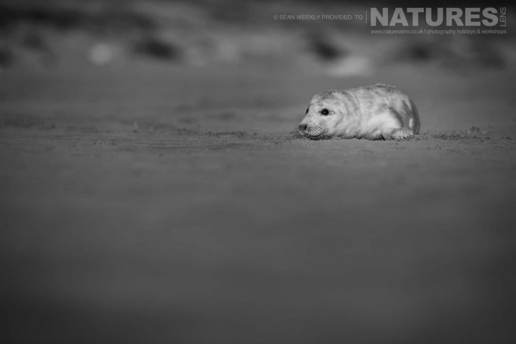 A new born seal pup spends the first hours of his life resting on the beaches of Lincolnshire photographed on the Seals of Lincolnshire Photography Holiday run by NaturesLens