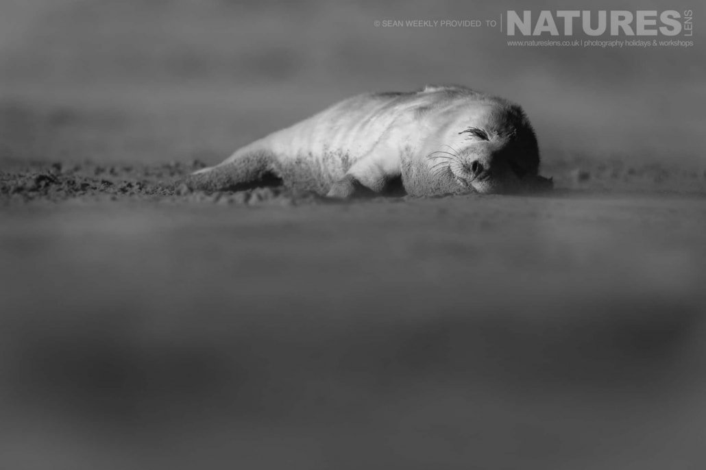 A new born seal pup spends the first hours of his life sleeping on the beaches of Lincolnshire photographed on the Seals of Lincolnshire Photography Holiday run by NaturesLens