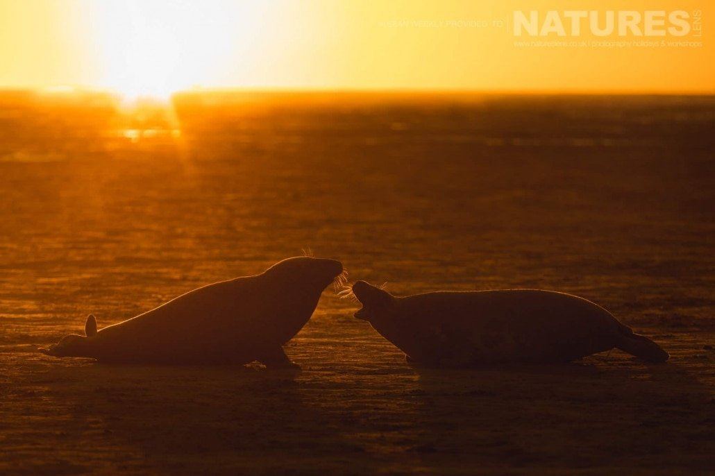 A pair of seals greet one and other in the first rays of the day photographed on the Seals of Lincolnshire Photography Holiday run by NaturesLens